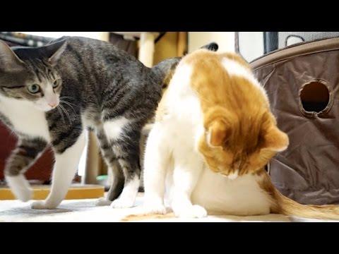 猫のちゅ。 – Cute Cat Lick –