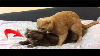 هكذا تبحث القطة الانثى عن ذكر للتزواج ولكنها لا تسجيب الا بعد اغراء نادر شاهد ما يحصل بينهما ؟!