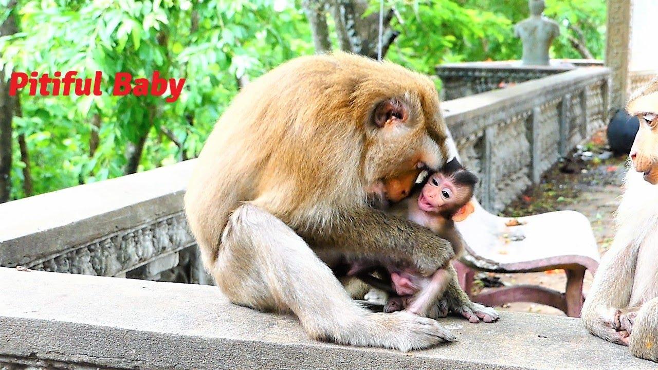 Pitiful Baby Monkey!, Mother Joanna Warns Baby Juventus When This Baby Disturbing Her