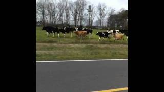 Bulldog Vs Cows