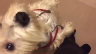 横ヨコ、カニさん二足歩行ハピ練習風景、天才犬?(笑)(^O^)/ 【ハッピ...