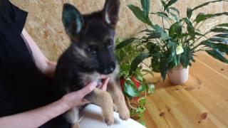 関西・近畿のシェパード子犬販売 http://www.moo-pon.com/shepherd 滋賀...