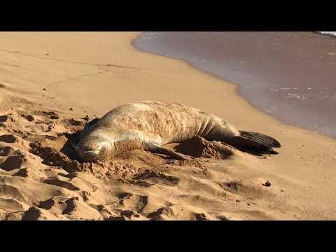 Sleeping Monk Seal in Hawaii ハワイでアザラシに遭遇②