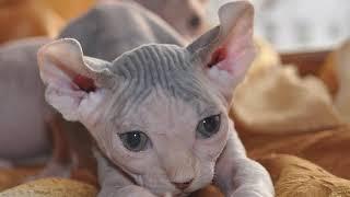 Бабушка не любила котёнка-сфинкса, но после одного случая всё поменялось…