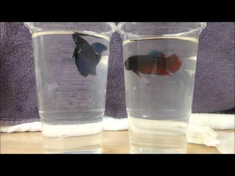 Siamese fighting fish test 3: real fish stimuli (animal behaviour practical)