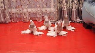 Бойные голуби Казахстана / Pigeons of Kazakhstan (Хасан касымов , Алматы, Казахстан )
