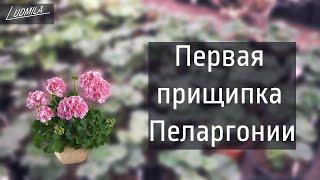 ПЕРВАЯ ПРИЩИПКА ГЕРАНИ ( пеларгонии)