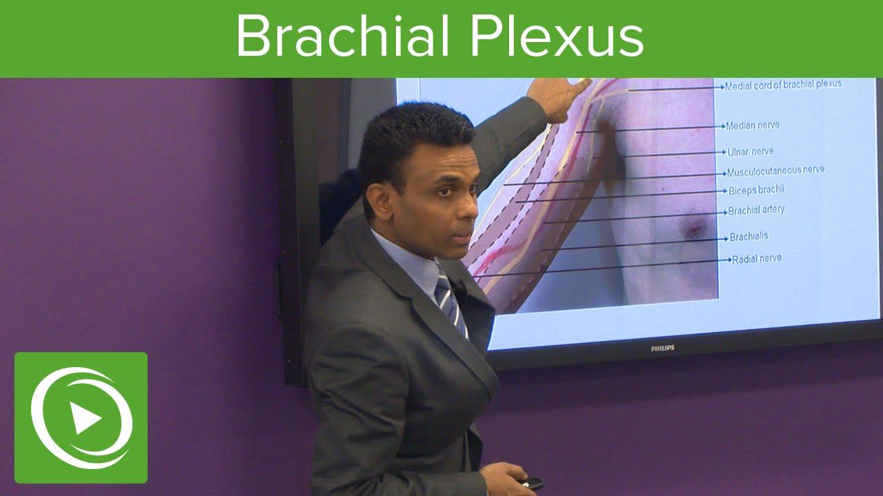 Brachial Plexus: Surface Anatomy & Nerves – MRCS | Lecturio