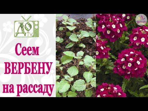 ВЕРБЕНА: посев семян на рассаду. Советы от DelaOgorodnieTV