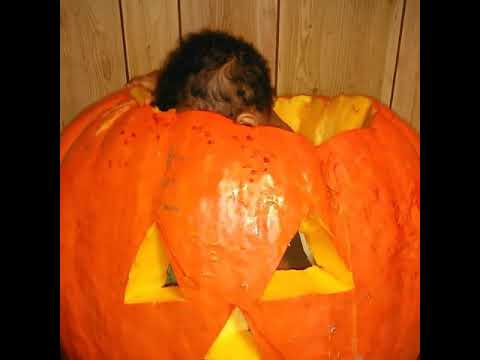 Baby Quez cleaning out his pumpkin from the inside.