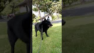 スキッパーキ 散歩中 犬.