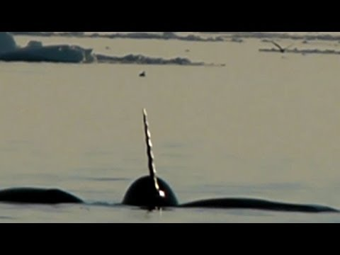 Tracking Elusive Narwhals in the Arctic