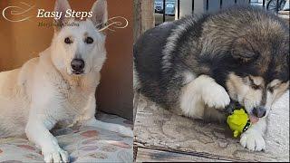 New Toys for the Furry Boys | Alaskan Malamute | German Shepherd | Crazy Paws