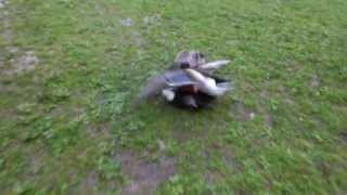 Canards: cols verts et violents