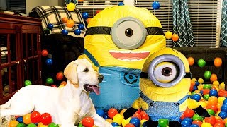 5 Month Old Logan the Puppy Lab Plays with His Toy Minion