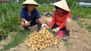 직접 재배한 감자 캐서…