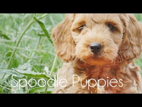 Spoodle puppies playing!!!