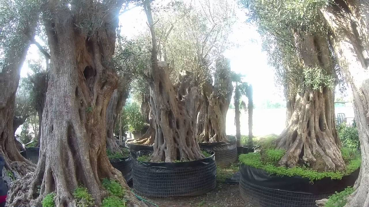 1000 Year Old Olive Trees - Youtube-2676