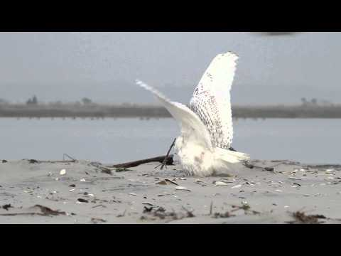 Snowy Owl vs. Peregrine Falcon