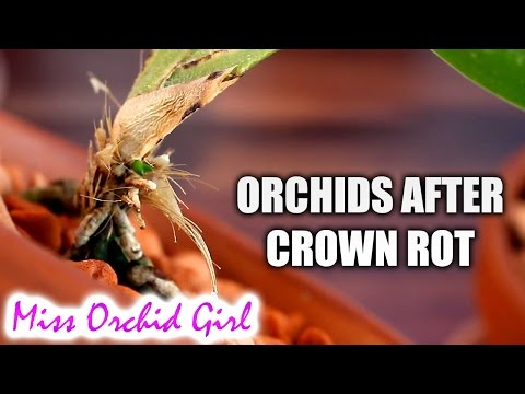 What to expect with Orchids after crown rot