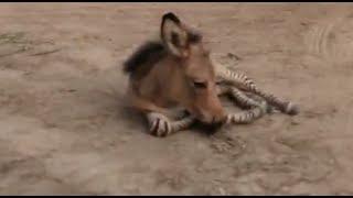 Rare Baby Zonkey Born in Mexico Zoo
