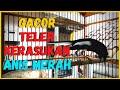Masteran Kacer Gacor Teler Ngotot Cari Lawan Roll Tembak Dijamin Kacer Lain Cepat Respon Gacor  Mp3 - Mp4 Download