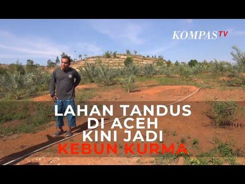 Lahan Tandus di Aceh Kini Jadi Kebun Kurma