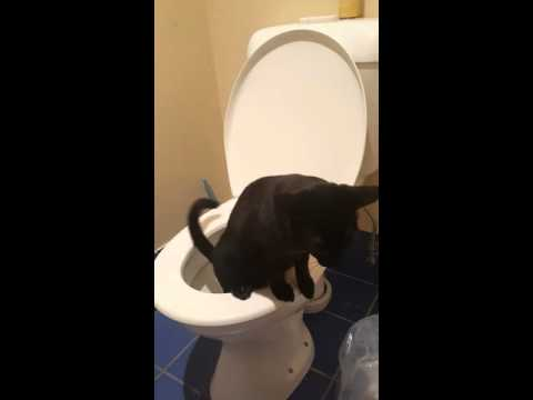 Siamese Cat Using The Toilet