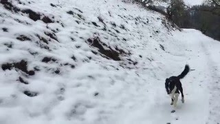 Two Border Collies Play in the Snow