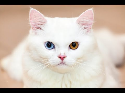 Top 5 rarest cats breeds in the world