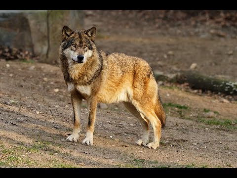 Help Protect the Eastern Wolf