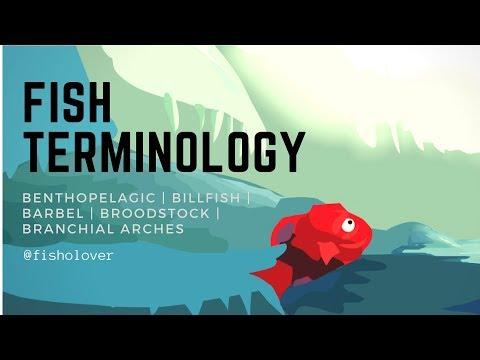 Fish Terminology: Benthopelagic | Billfish | Barbel | Broodstock | Branchial Arches