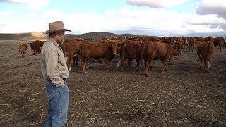 En Californie, la sécheresse désespère les éleveurs