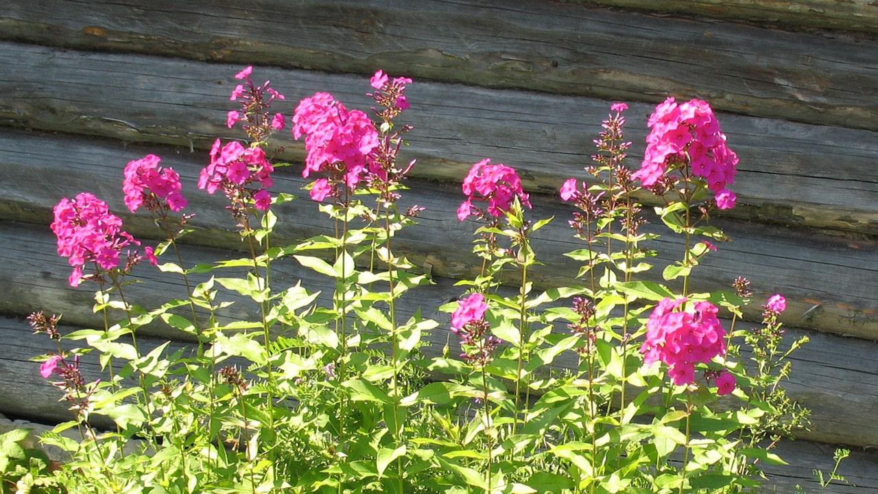 Кустарники многолетние цветы