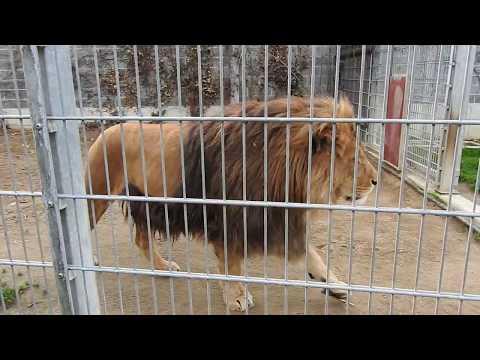 鬣が立派なバーバリライオンのオス Barbary Lion  2015 1115