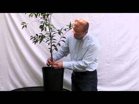 Detecting & Treating Pests on your Citrus Tree