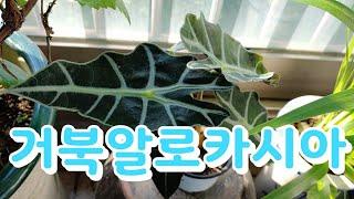 #거북알로카시아 #플랜테리아 식물로 추천합니다. #공기…