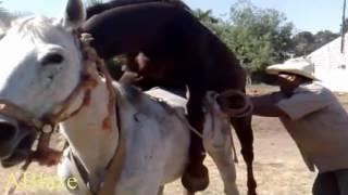 развъждане кон и обучение кон чифтосване // avl hest og trening hest parring