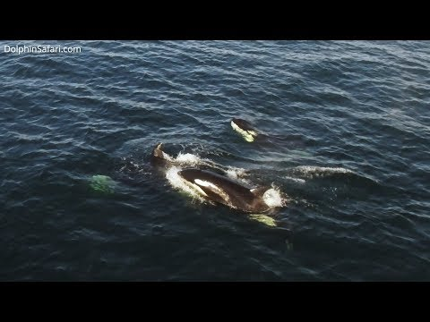 Drone Films Rare Orcas off Southern California, Eastern Tropical Pacific Killer Whales