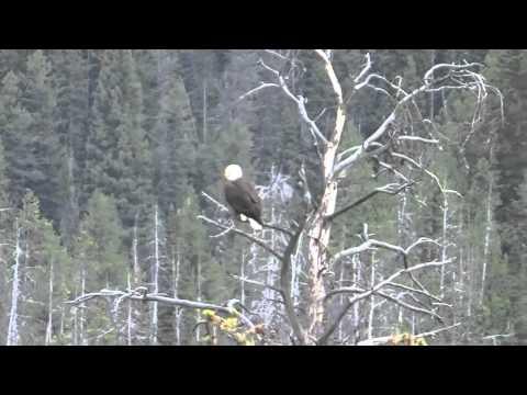 Yellowstone - Bald Eagle
