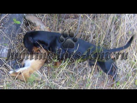 Норная охота: Такса против Лисы