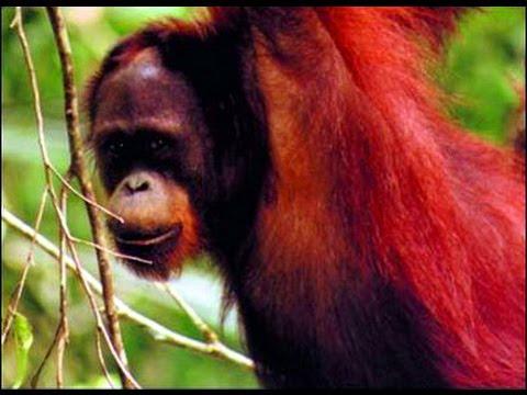 Orang-utans in the Wild | Storyteller Media