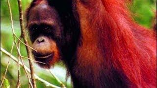 Cover images Orang-utans in the Wild | Storyteller Media