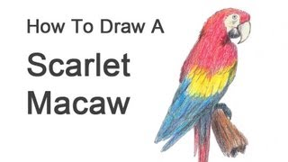 How to Draw a Macaw (Scarlet Macaw)