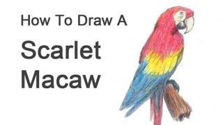 How to Draw a Macaw (Scarlet Macaw)