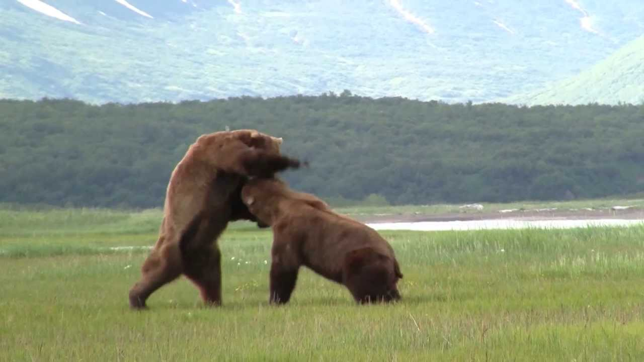 Battle Of The Giant Alaskan Grizzlies, grizzly vs grizzly, alaska ...
