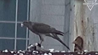Doğanın Kanunu Şahinin Güvercini Kaptığı An