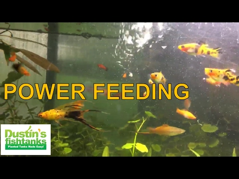 Aquarium Fish POWER FEEDING- Don't Do This In Your Aquarium