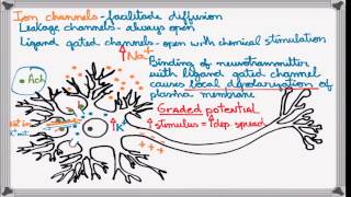 Best Action Potential explanation