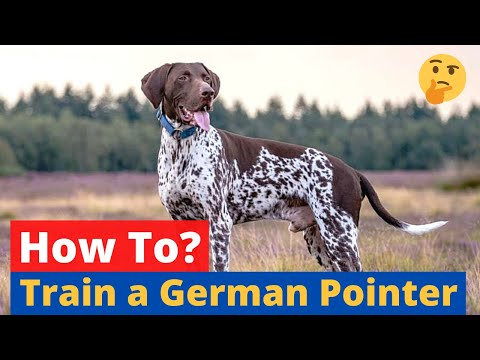 How to Train a German Shorthaired Pointer? 🤔